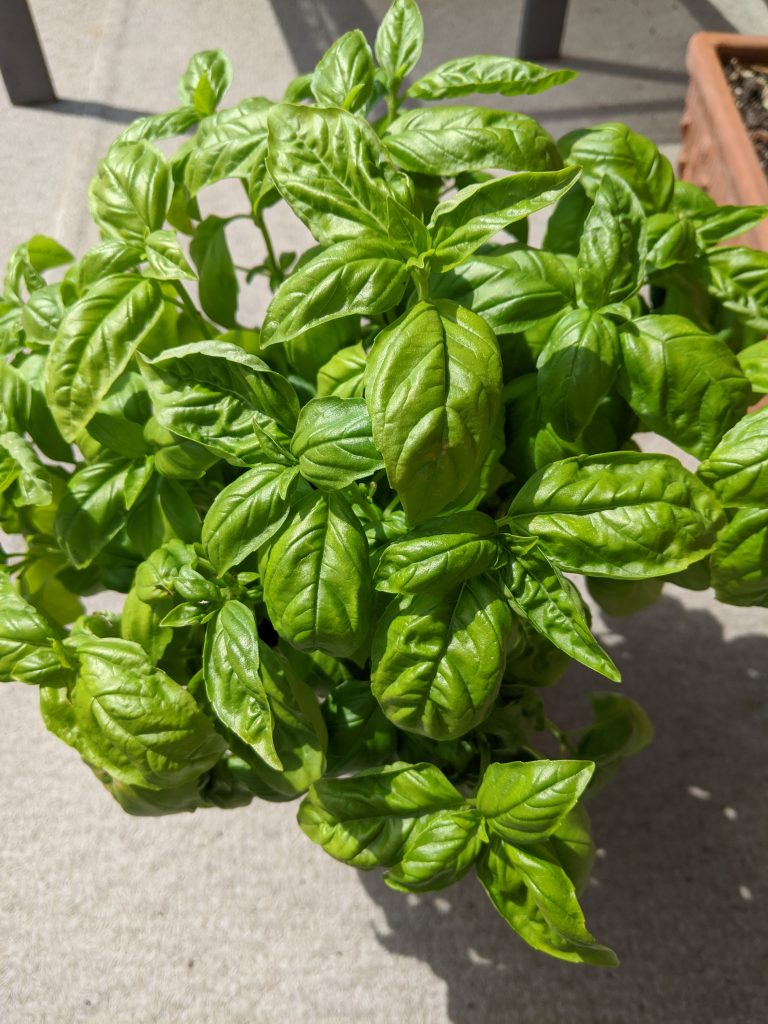 How to use Basil in Pasta