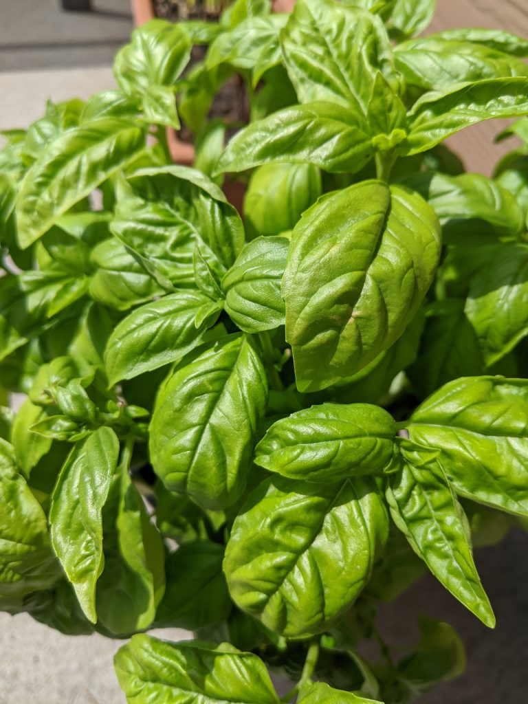 sweet basil how to use in pasta recipe ideas